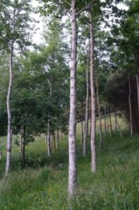 Broadleaf timber trees